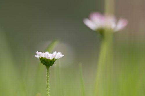 Gänseblümchen auf Wiese