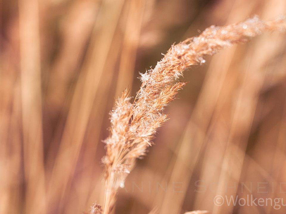 Getreideäre