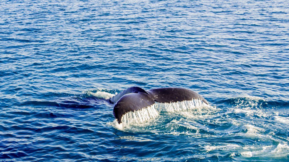 Buckelwal im Meer