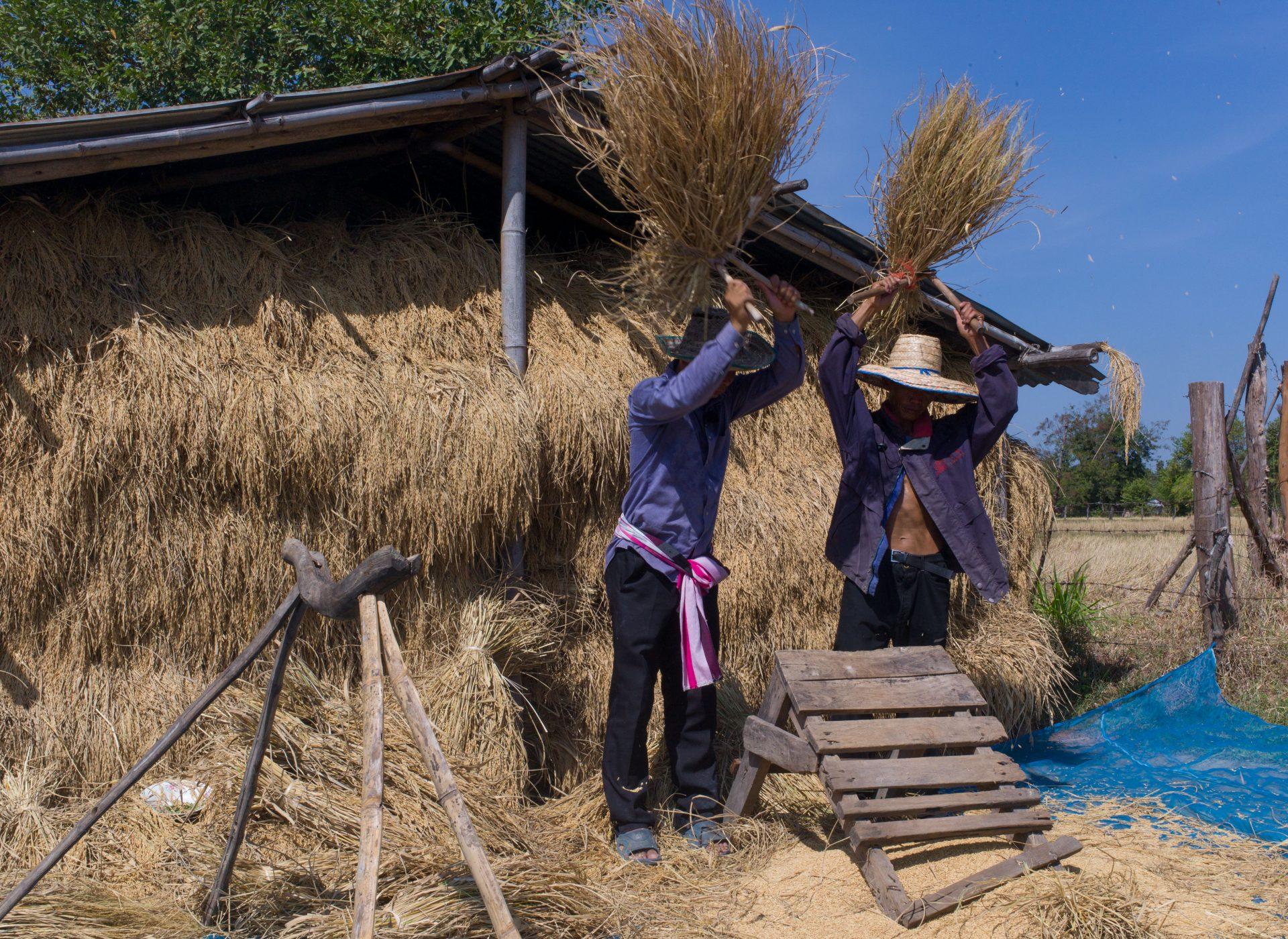 Arbeiter dreschen fair gehandelten Reis nach der Ernte