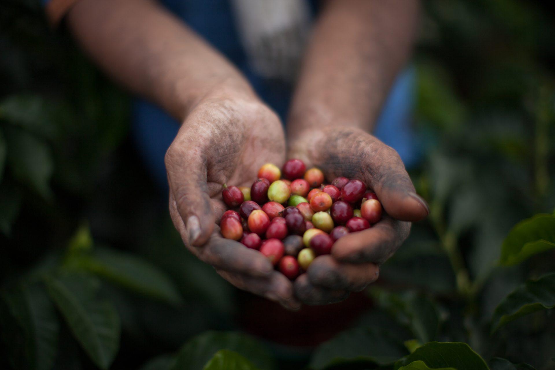 Kaffeebohnen für fairtrade Kaffe in den Händen eines Bauern