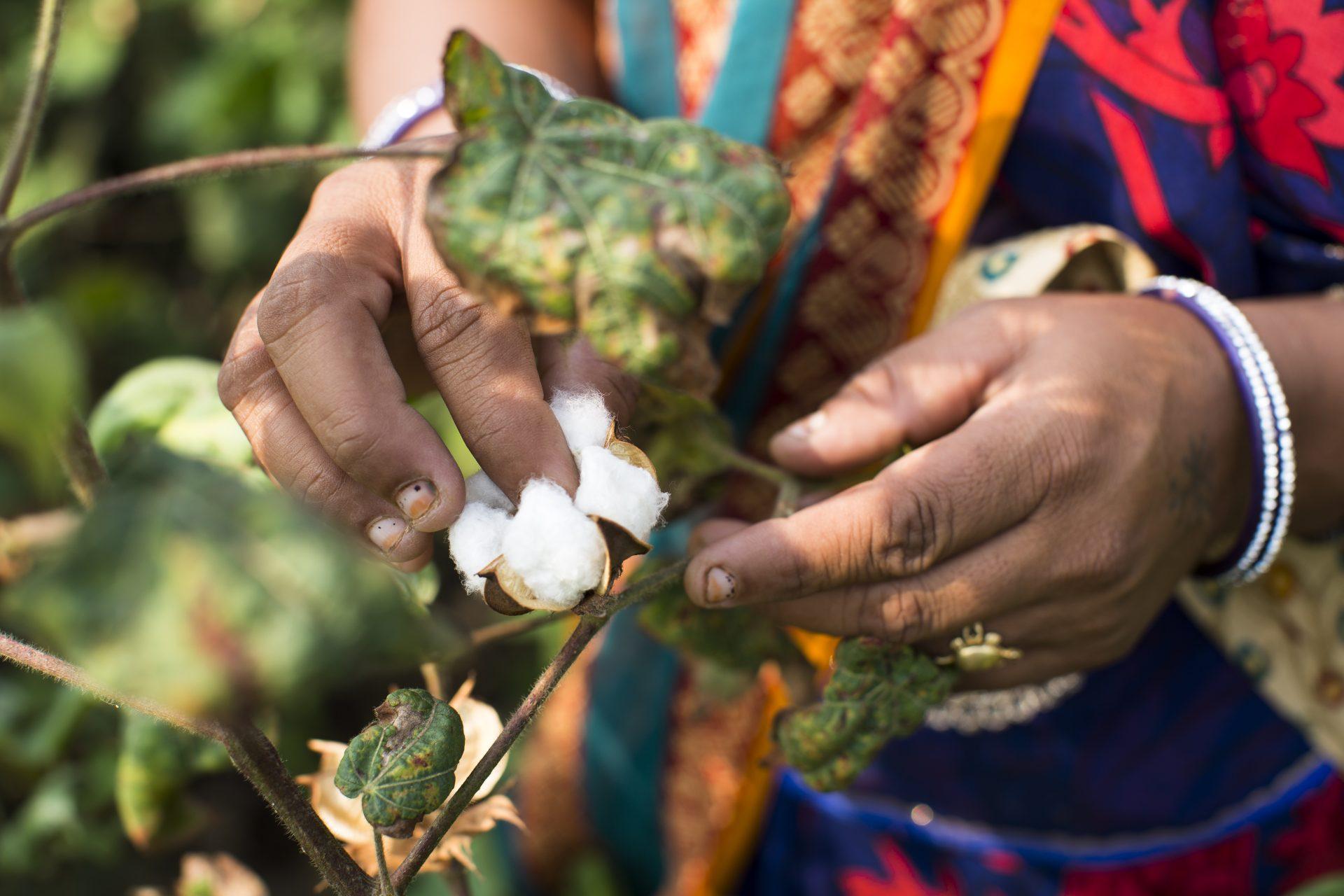 Eine Frau pflückt fairtrade Baumwolle